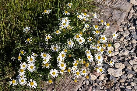 scentless chamomile tripleurospermum inodorum sch flowering