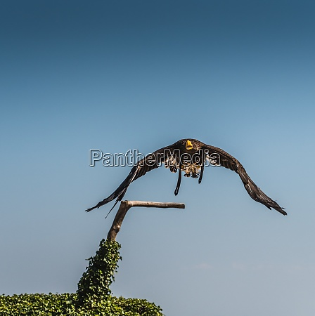 stellers eagle in flight