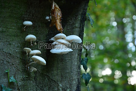 tree mushroom in the bienwald