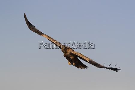 tawny eagle aquila rapax zimanga private