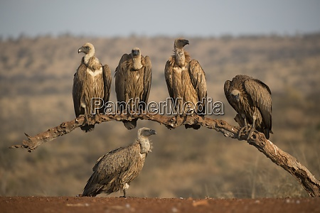 whitebacked vultures gyps africanus zimanga private