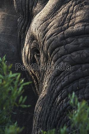 elephant loxodonta africana zimanga private game
