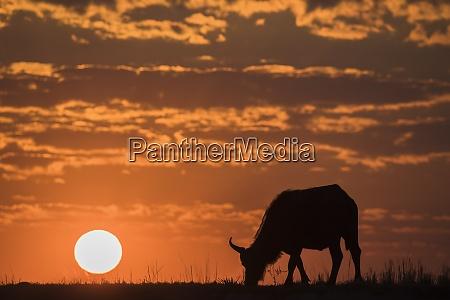 cape buffalo syncerus caffer at sunset