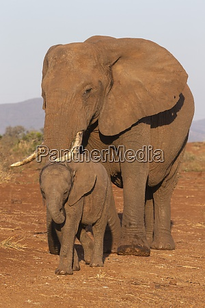 african elephant loxodonta africana and calf