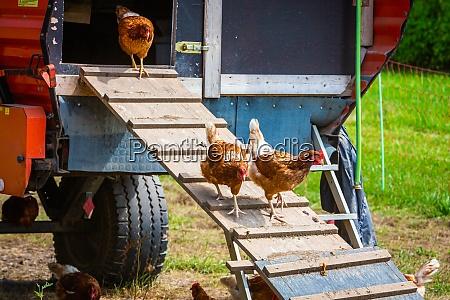 hens on a chicken ladder