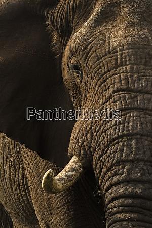 african elephant bull loxodonta africana zimanga