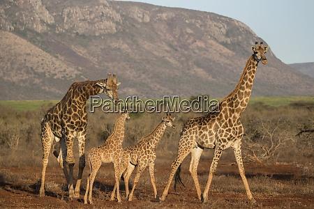 giraffe giraffa camelopardalis zimanga game reserve