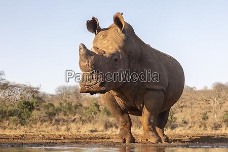 white rhino ceratotherium simum bull at