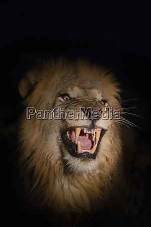 lion panthera leo male at night