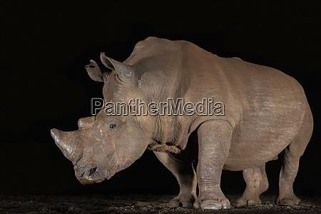 white rhino ceratotherium simum at night