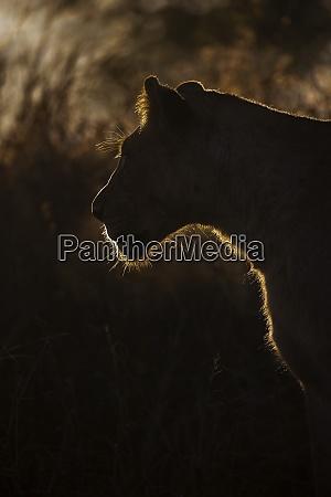 lioness panthera leo zimanga private game