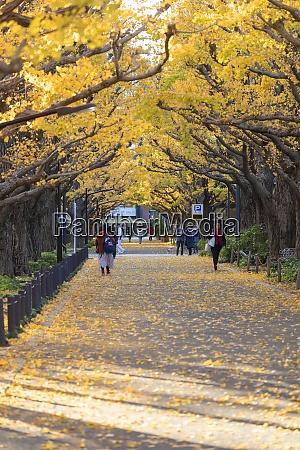 autumnal ginkgo trees in meiji jingu
