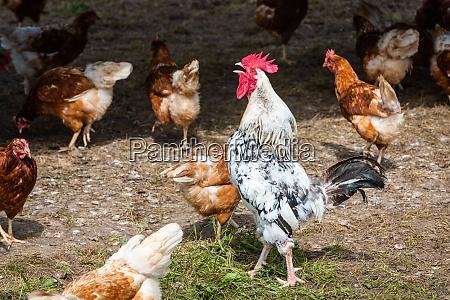 crowing rooster between hens