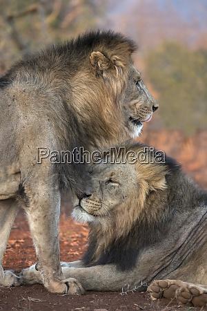 lion panthera leo brothers zimanga private