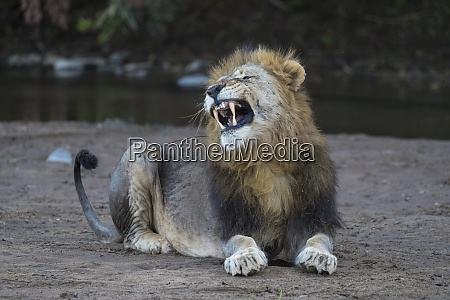 lion panthera leo yawning zimanga private