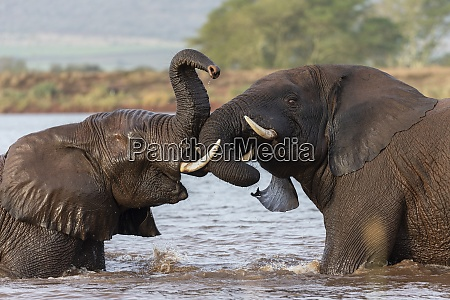 african elephants loxodonta africana playfighting in