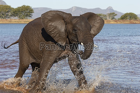 african elephant loxodonta africana in water