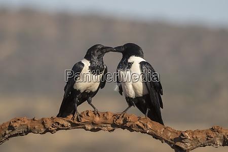 pied crows corvus albus zimanga private