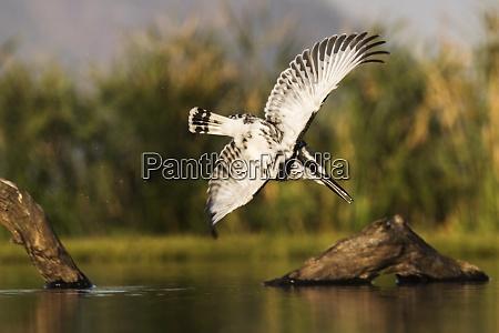 pied kingfisher ceryle rudis diving zimanga
