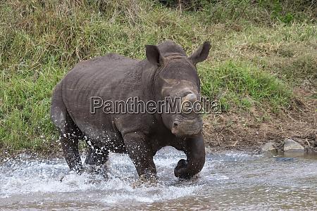 white rhino ceratotherium simum bull zimanga