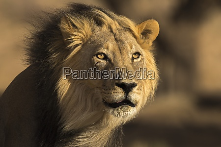 lion panthera leo male kgalagadi transfrontier