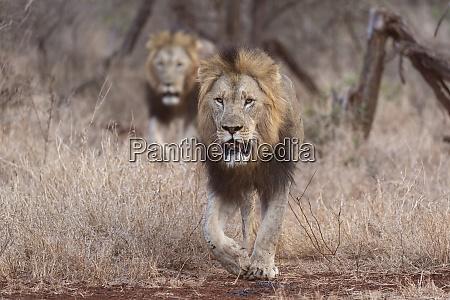 lions panthera leo zimanga private game
