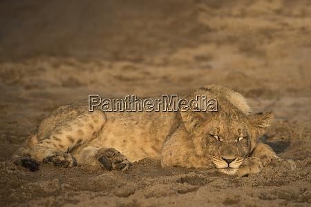 lion panthera leo cub sleeping zimanga