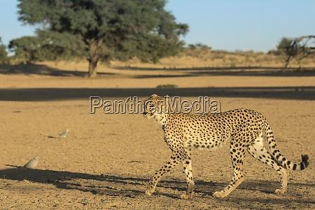 cheetah, (acinonyx, jubatus), , kgalagadi, transfrontier, park, - 28837558
