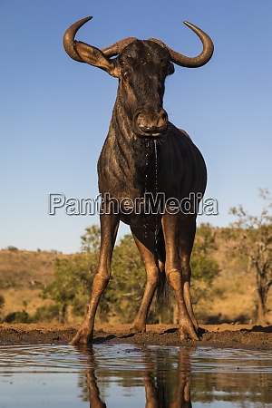 common, wildebeest, (connochaetes, taurinus), at, water, - 28837479