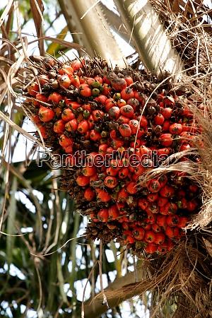 oil palm plantation in southern bahia