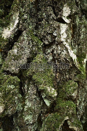 textured lichen and moss covered bark