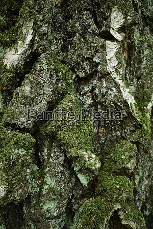 textured birch tree bark close up