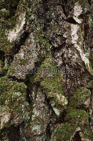 moss grown trunk of aged birch