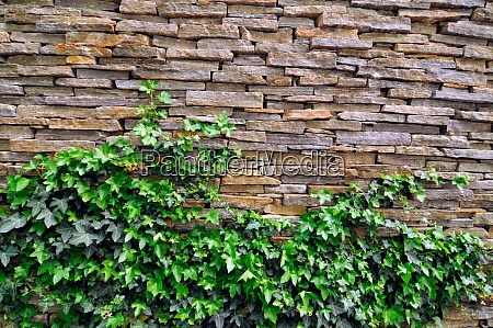 green ivy clings to the wall