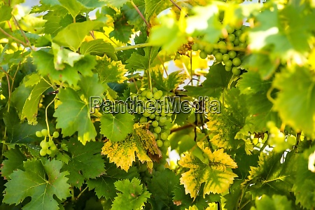 grapes at a grapevine in autumn
