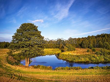 summer background with alder tree on
