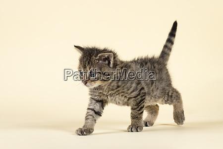 mammal wildcat 2020 32856