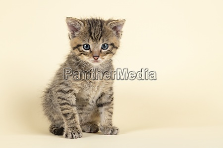 mammal wildcat 2020 32858