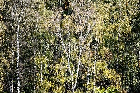 birch trees in green dense forest