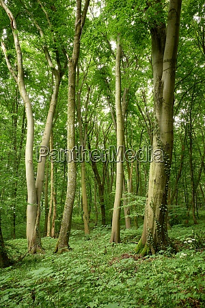 gorgeous graceful beeches in a green