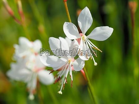pretty flowers of gaura lindheimeri sparkle