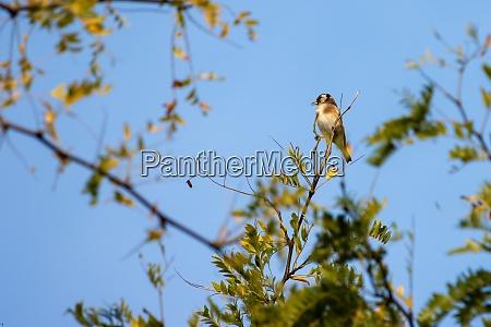 european goldfinch enjoying the early morning