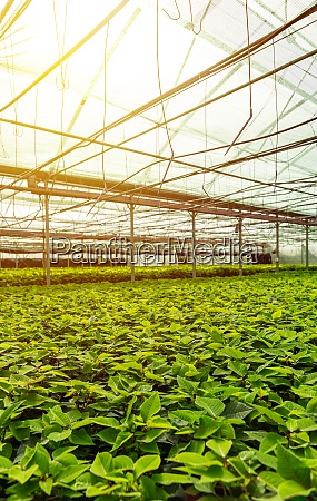 young poinsettia plants