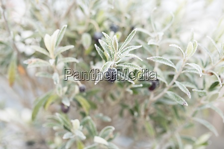 olive branches in the autumn frost