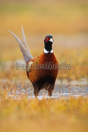 common pheasant standing on wetland in