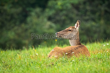 calm red deer laying on grass