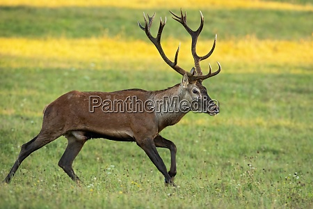 vital red deer stag running on