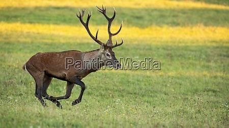 fast red deer sprinting on meadow