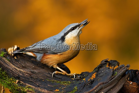 eurasian nuthatch sitting on bough in