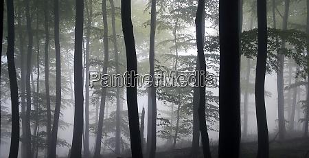 dark beech forest in the haze